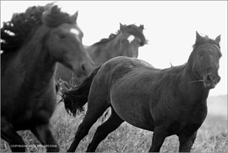 лошади в движении.серия Sable Island horses фотографа Roberto M. Dutesco