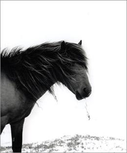 серия Sable Island horses фотографа Roberto M. Dutesco