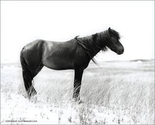стоящая лошадь.серия Sable Island horses фотографа Roberto M. Dutesco