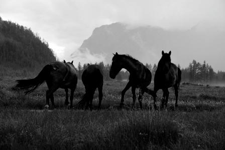 черно-белая фотография четыре лошади на лугу